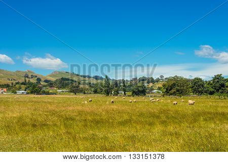 Hill view farm rural area - Sheep on the meadow in the foreground - North Island New Zealand