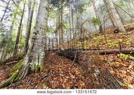 Foggy natural forest with fallen trees and tree with signs cuts in bark in Romanian Carpathian mountains
