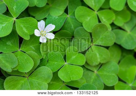 Close up of field of shamrocks in the forest