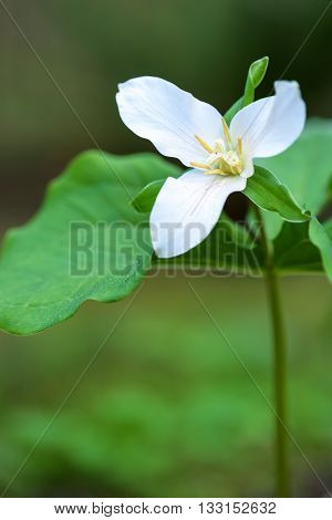 Close up of a trillium in the forest