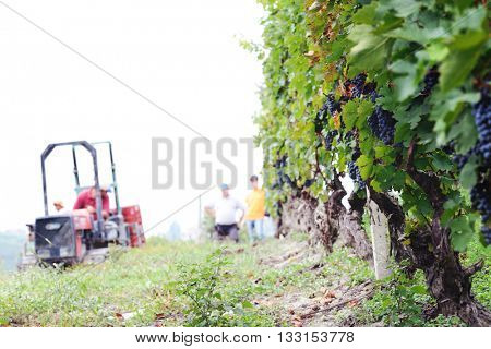 grape harvesting