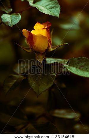 beautiful yellow garden rose background closeup shallow depth of field