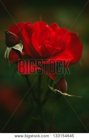 beautiful red garden rose background closeup shallow depth of field