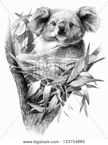 Sketch - Koala bear on the tree. On white background. Detailed pencil drawing monochrome image