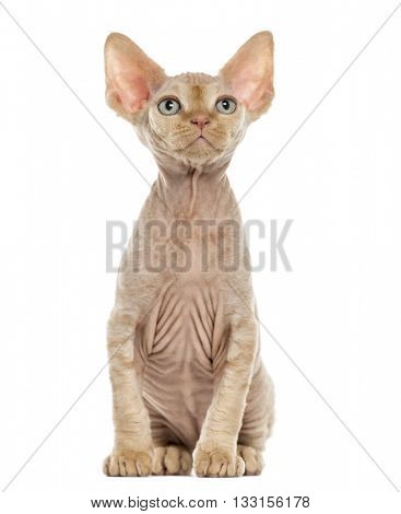 Devon Rex kitten looking up, isolated on white