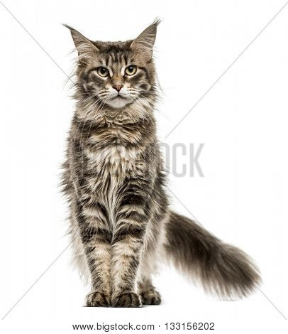 Maine Coon standing up and looking at the camera, isolated on white