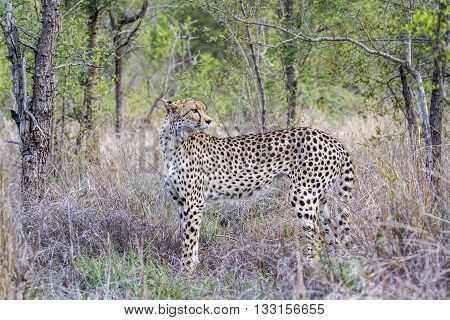 Specie Acinonyx jubatus family of felidae, cheetah standing in the bush in Kruger park poster