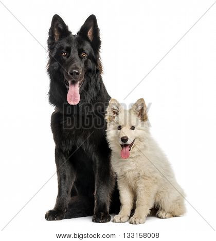 Couple of Swiss Shepherd looking at the camera, sticking the tongue out, isolated on white