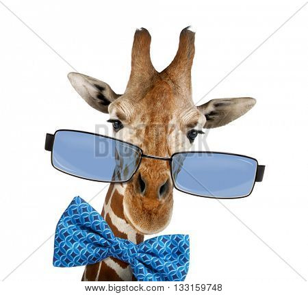 Close up of a Somali Giraffe, commonly known as Reticulated Giraffe, Giraffa camelopardalis reticulata Red-eyed Treefrog, Agalychnis callidryas wearing sunglasses, isolated on white