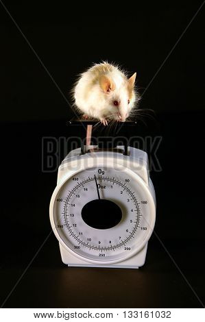 Pet mouse on a scale showing weight.