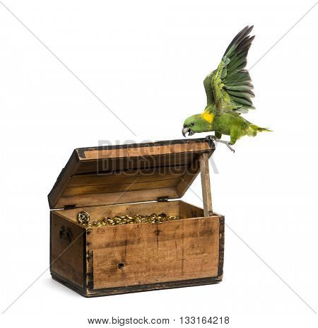 Yellow-crowned Amazon on a pirate chest, isolated on white