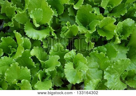 Lettuce Salad Green Leaves Countryside Garden Summer 2