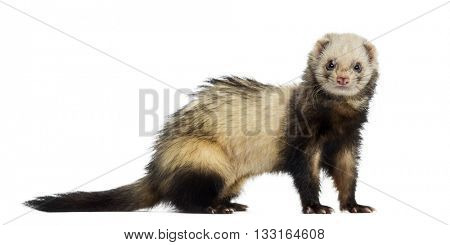 Ferret looking at the camera, isolated on white