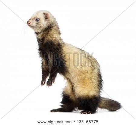 Ferret on his hind legs and looking away, isolated on white