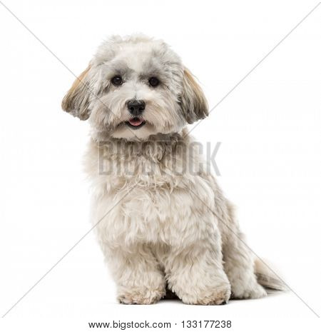 Havanese looking at the camera and sitting, isolated on white