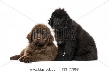 Couple of Newfoundland puppy looking at the camera and sitting, isolated on white