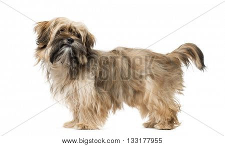 Shih Tzu puppy standing up and isolated on white