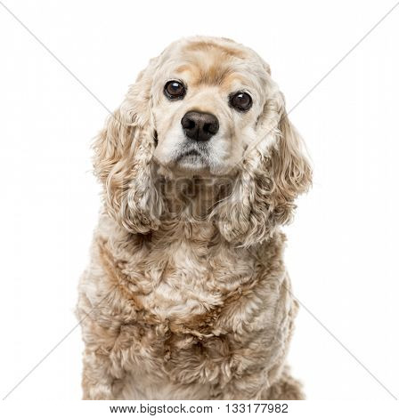 Close-up of a American Cocker Spaniel looking at the camera, isolated on white