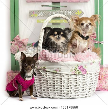 Group of Chihuahua sitting in front of a rustic background