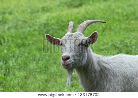 Single adult white horned goat on the green grass in summer day. Portrait of a goat - goat head - on blurred green background