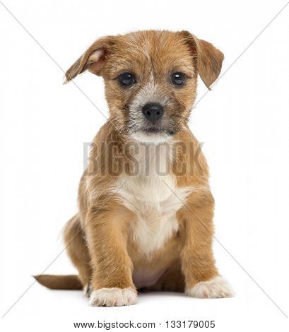 Mixed-breed puppy looking at the camera,  sitting, isolated on white