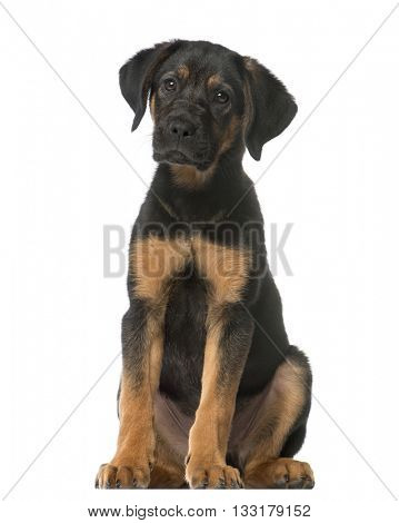 Crossbreed dog between a Malinois and a Pointer sitting and looking at the camera, isolated on white