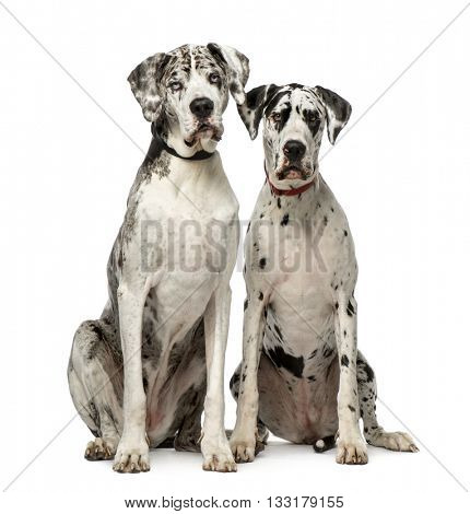 Couple of Great Dane sitting and looking at the camera, isolated on white