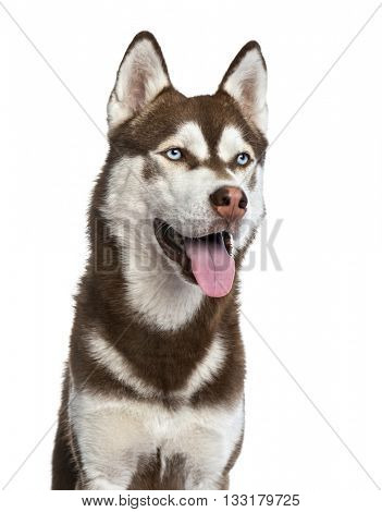 Close up of a Siberian Husky isolated on white