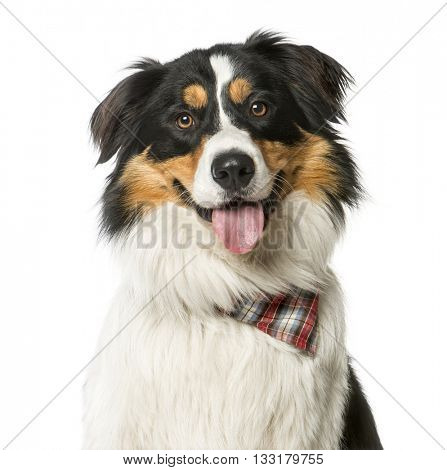 Close up of a Crossbreed dog between a Border Bouvier Bernois wearing a bandana, looking at the camera, isolated on white