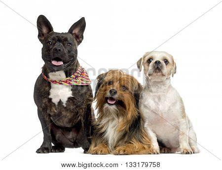 Crossbreed dog between a Amstaff and a Bulldog and a Crossbreed dog between a Yorshire and a Bichon and a Shih Tzu, lying down and looking at the camera, sitting, isolated on white
