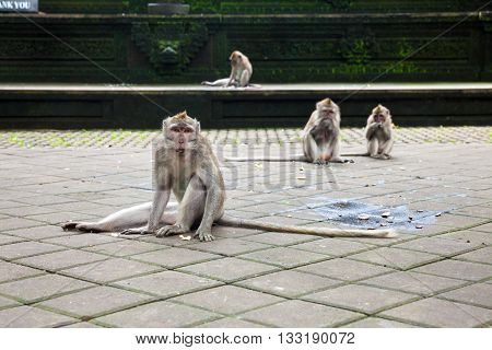 Monkey In The Monkey Forest Sanctuary, Ubud, Bali