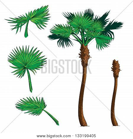 Isolated leaves of 3 various shapes and trunk  for creating customized Sabal palm tree. EPS10 vector illustration.