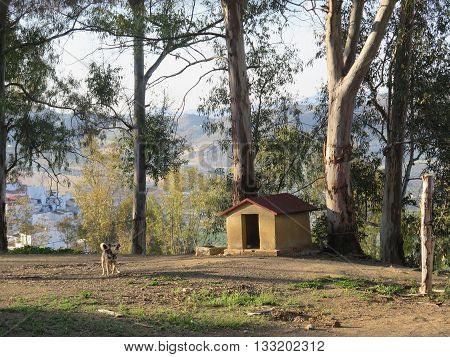 Dog on chain in front of brick built kennel in eucalyptus shaded ground in Andalusian village