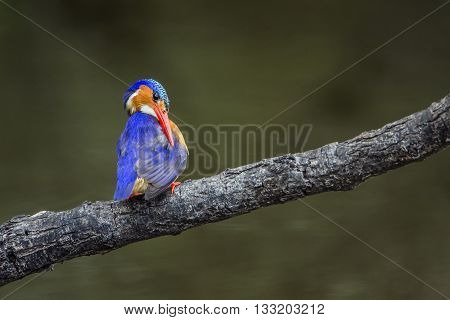 Specie Corythornis cristatus family of Alcedinidae, malachite kingfisher on a branch in South Africa