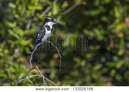 Specie Ceryle rudis family of Alcedinidae, pied kingfisher on a branch in Kruger park