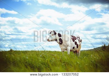 Black and white cow in a green meadow, the sky with clouds.