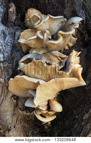 Bracket fungus growing on a tree at Herdsman Lake in Perth Western Australia.