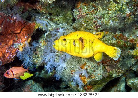 Yellow Puffer Fish Diving Indonesia Close Up