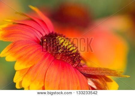 Macro view of yellow-red summer flower. red summer flower macro