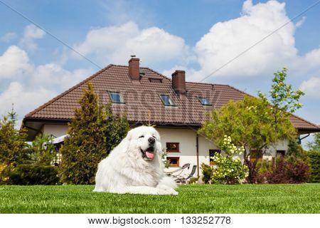 Big guard dog resting in front of the house. Polish Tatra Sheepdog also known as Podhalan or Owczarek Podhalanski