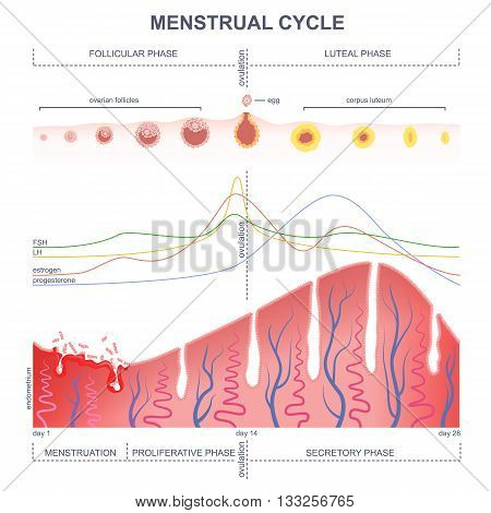ovarian cycle phase, level of hormones female period, changes in the endometrium, uterine cycle