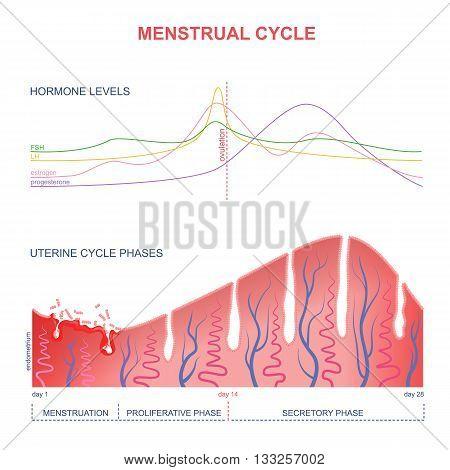 level of hormones female period, changes in the endometrium, uterine cycle