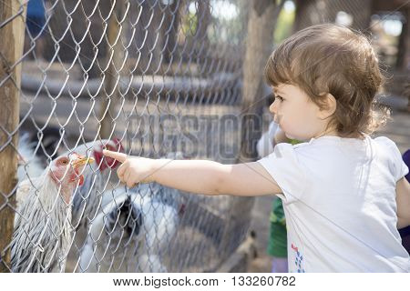 Cute little girl pointing at a hen behind the net of a chicken coop