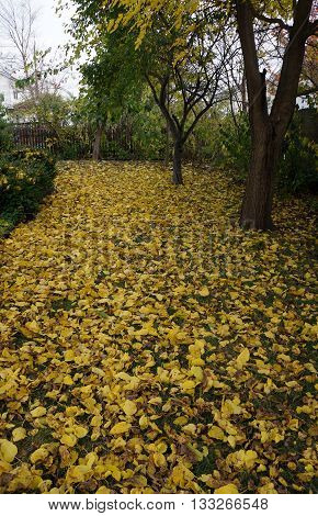 White mulberry trees (Morus alba) shed their brilliant yellow foliage in a yard in Joliet, Illinois during November.