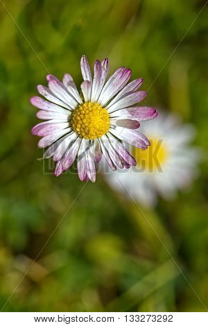 Top perspective of a Spring flower Daisy extreme macro shot in a field of daisies