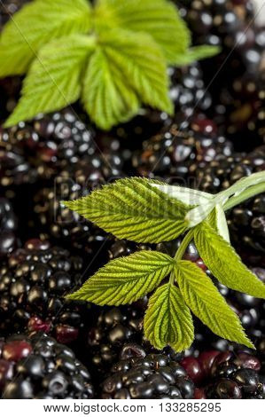 A close up image of a bunch of blackberries with a blackberry leaf.