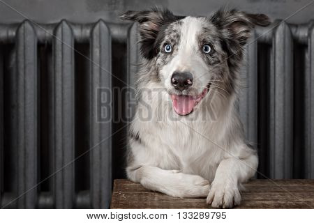 Border collie dog merle color in interior studio