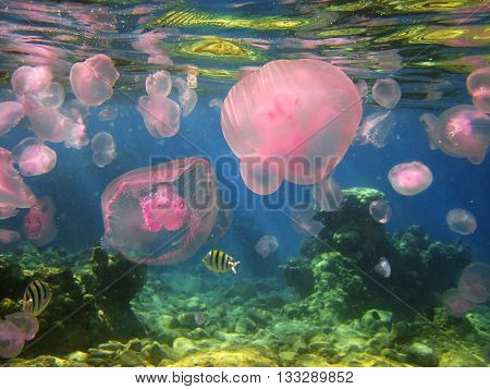seasonal migration of jellyfish in the Gulf of Eilat, Red Sea, Israel