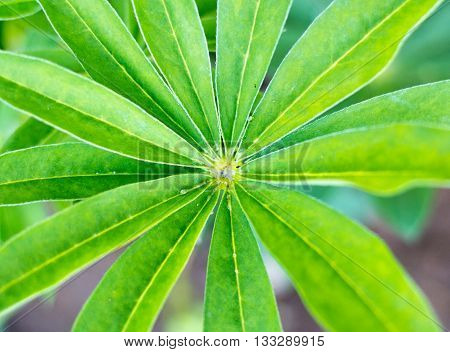 Close up of lupine plant with vibrant green leaves