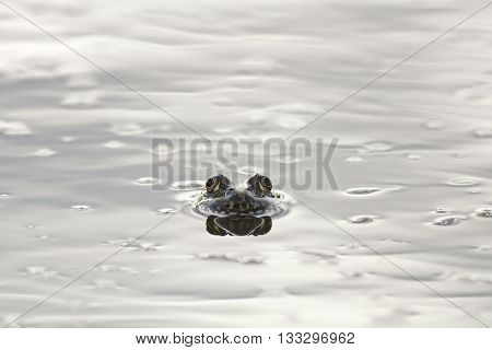 frog peeking out from under the shiny mirror-like water